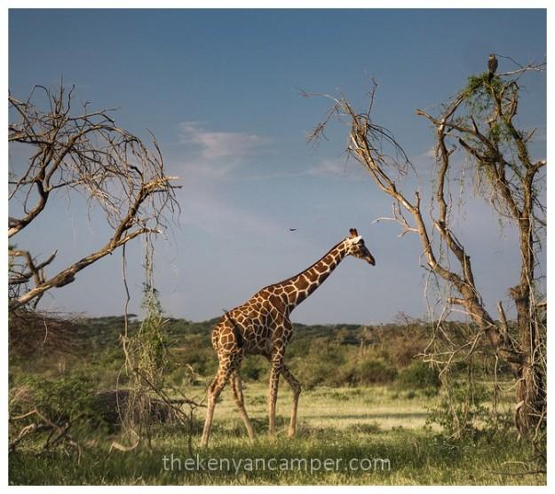 shaba-national-reserve-isiolo-camping-kenya-91